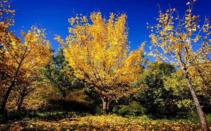 Chinese ginkgo trees fall-Scenery High Quality Wallpaper