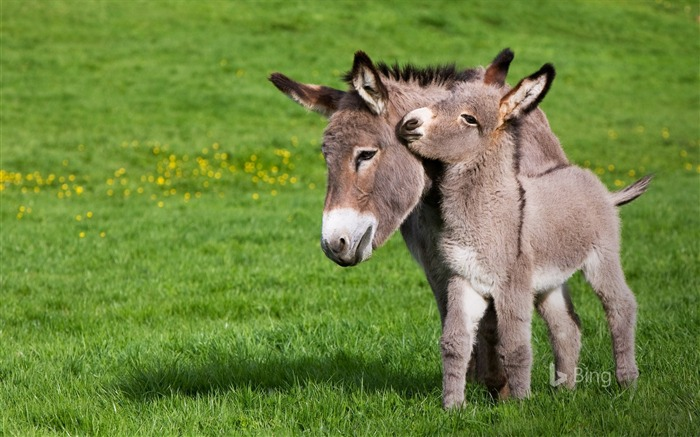 France Cotentin donkey and foal in Normandy-2017 Bing Desktop Wallpaper Views:1000