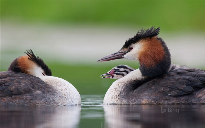 Great crested grebe with chick-2017 Bing Desktop Wallpaper Views:846