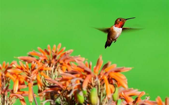 Rufous hummingbird aloe flowers-Spring Bird Photo Wallpaper