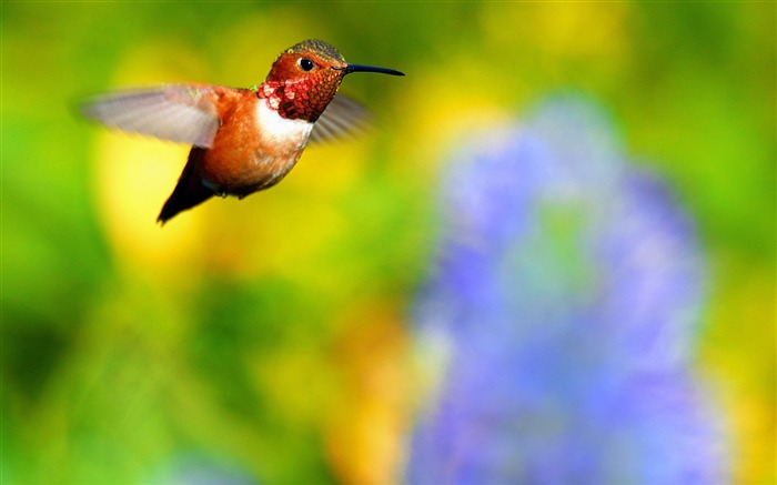 Rufous hummingbird flying-Spring Bird Photo Wallpaper