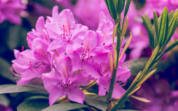 Purple rhododendron flower-2017 Spring Photo HD Wallpaper Views:733