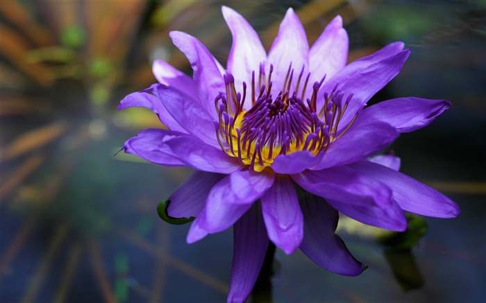 Purple water lily-2017 Spring Photo HD Wallpaper Views:769
