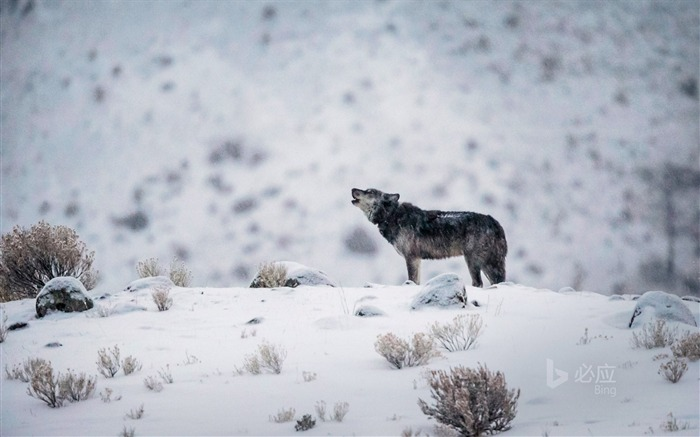 Wyoming A gray wolf in Yellowstone National Park-2017 Bing Desktop Wallpaper Views:684