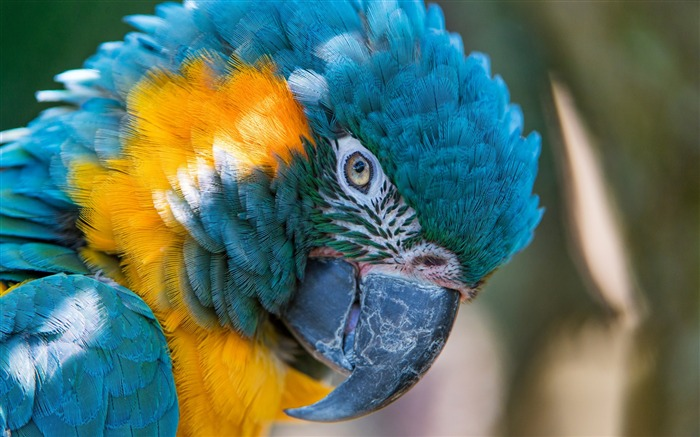 Blue and yellow macaw-High Quality Wallpaper