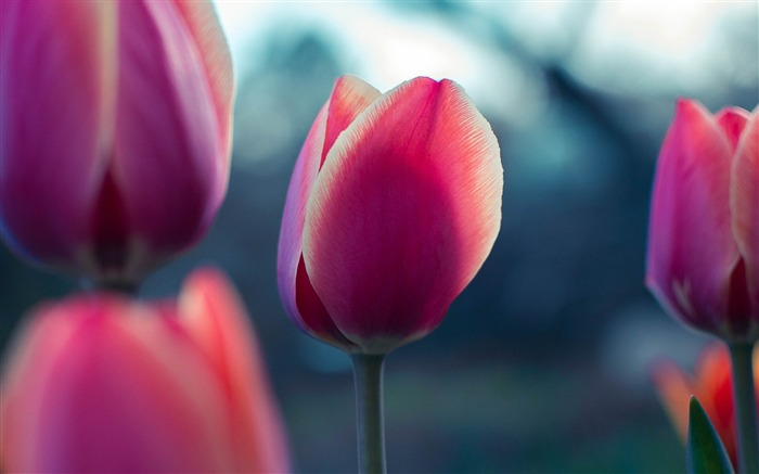 Tulip bud petals-2017 High Quality Wallpaper Views:433