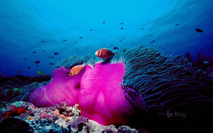 Australia Pink skunk clownfish and magnificent sea anemone in the Great Barrier Reef-2017 Bing Desktop Wallpaper Views:904