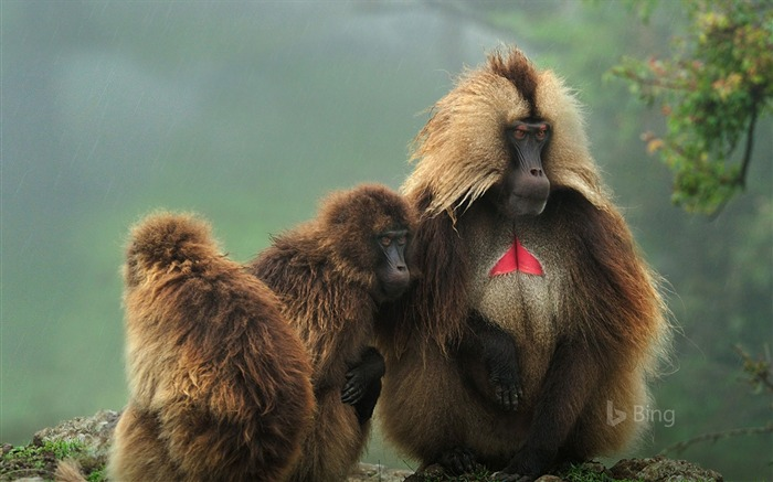 Ethiopia Geladas in Simien Mountains National Park-2017 Bing Desktop Wallpaper Views:3068 Date:7/23/2017 12:06:27 AM