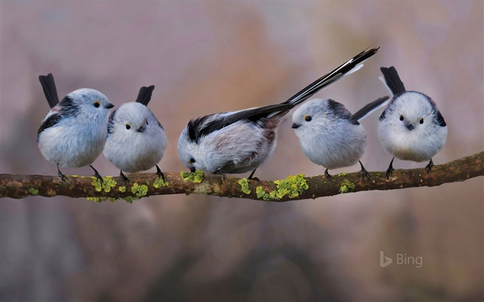 Germany Long-tailed tits in Erding-2017 Bing Desktop Wallpaper Views:4806 Date:7/23/2017 12:38:22 AM