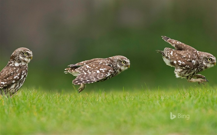 A little owl hunting on the ground-2017 Bing Desktop Wallpaper Views:1113