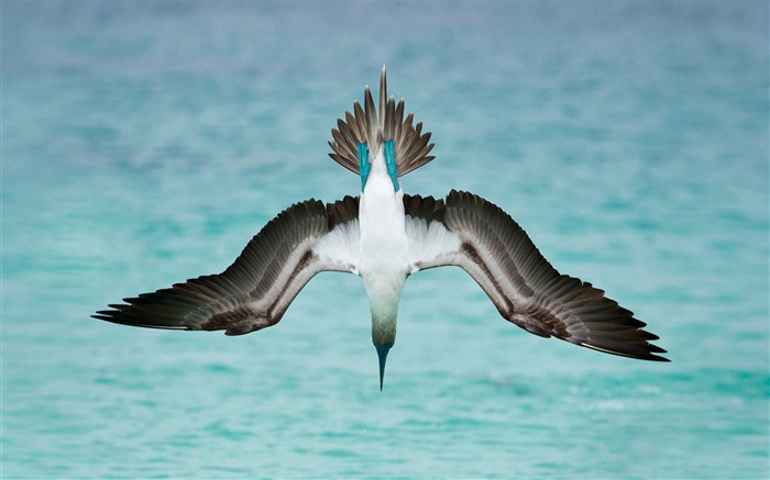 Blue footed booby-2017 Animal Wallpaper Views:1198