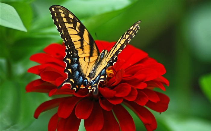 Butterfly red flower-2017 Animal Wallpaper Views:1075