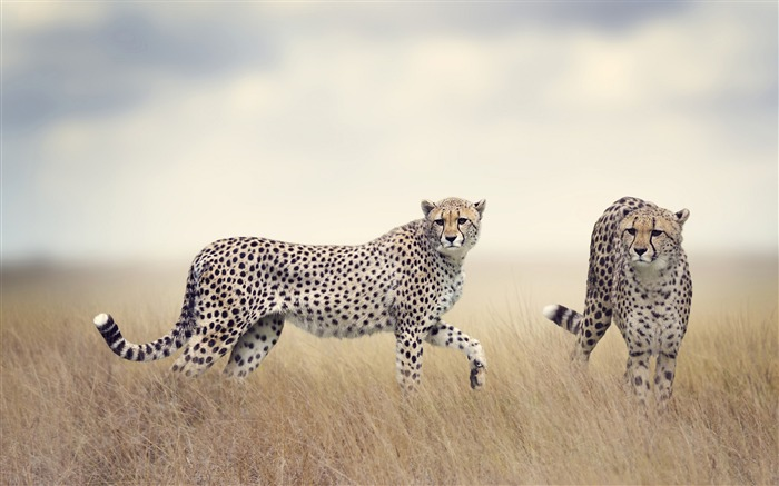 Cheetah wildlife-2017 Animal Wallpaper Views:1342