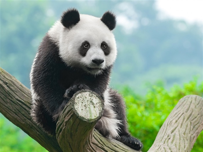 Cute China Panda-2017 Animal HD Wallpaper