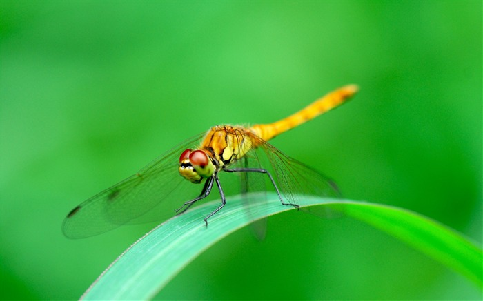 Dragonfly green background-2017 Animal HD Wallpaper Views:551