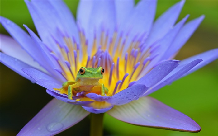 Frog lotus amphibian-2017 Animal Wallpaper Views:1182