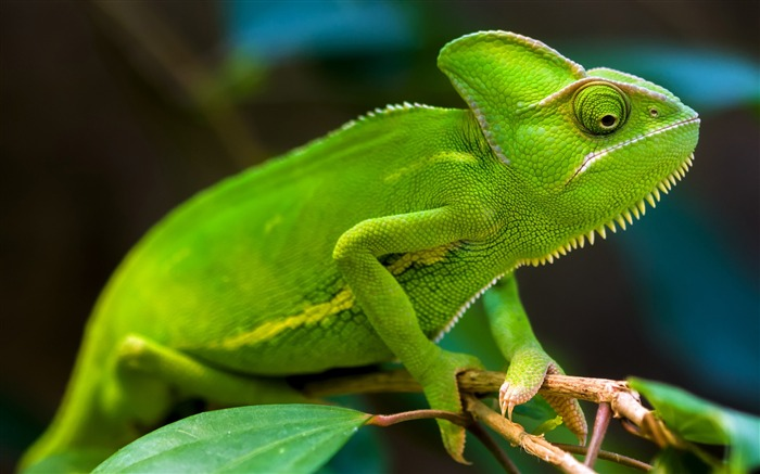 Green Chameleon-2017 Animal Wallpaper Views:1160