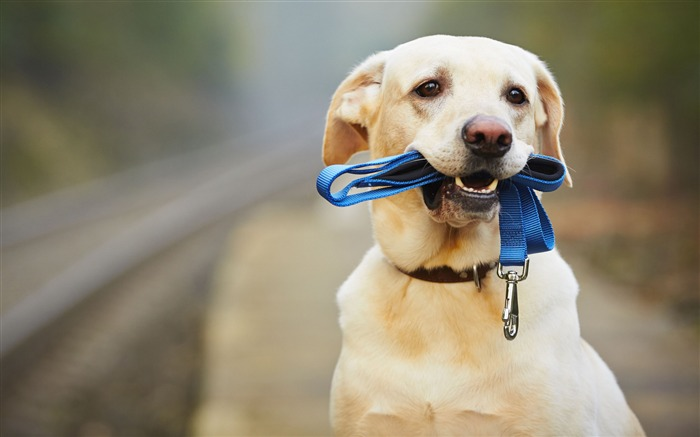 Labrador dog-2017 Animal HD Wallpaper