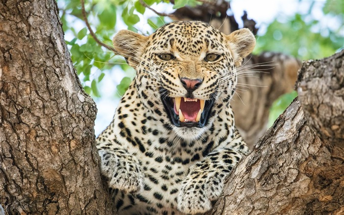 Leopard Wild-2017 Animal HD Wallpaper