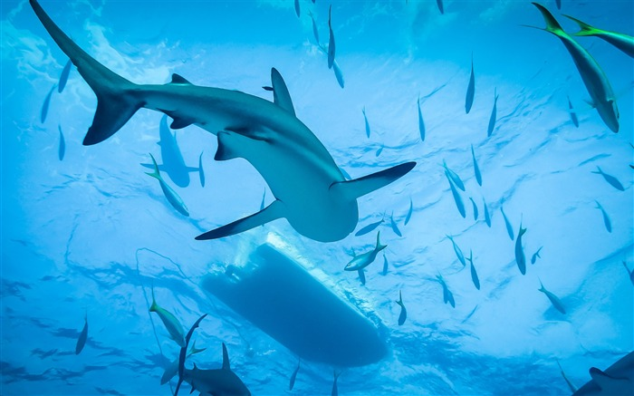 Swimming with sharks-2017 Animal Wallpaper Views:1075