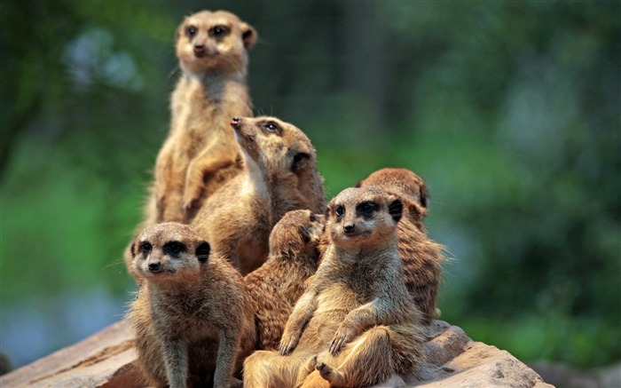 The meerkat clan-2017 Animal Wallpaper Views:1049