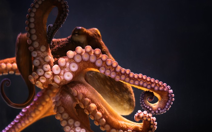 Underwater octopus-2017 Animal Wallpaper Views:1281