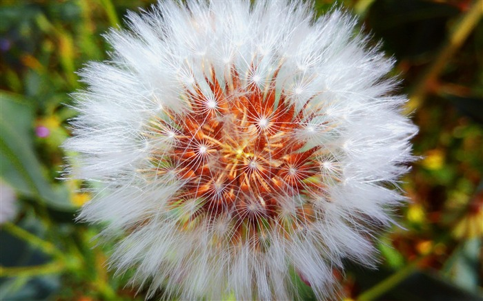 Dandelion down flower-High Quality Wallpaper