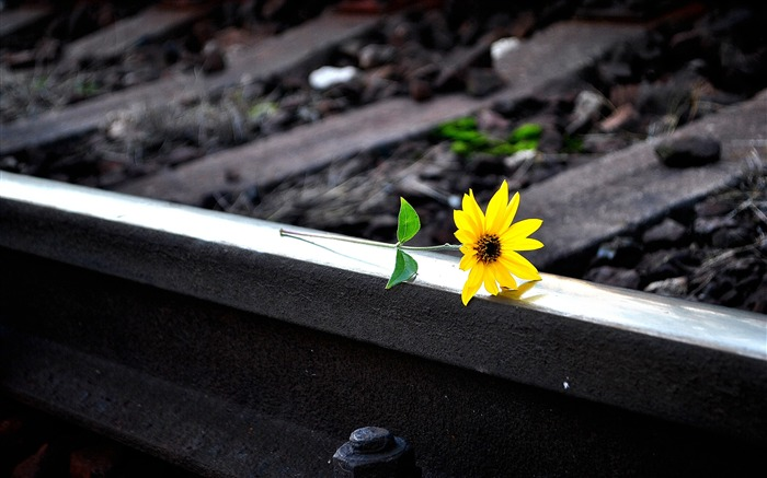 Yellow flower on railway track-Nature HD Wallpaper