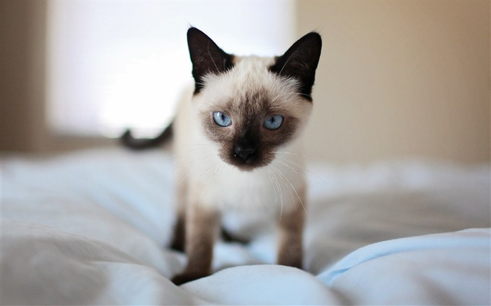 Adorable bed blue eyes Animal Wallpaper Views:439