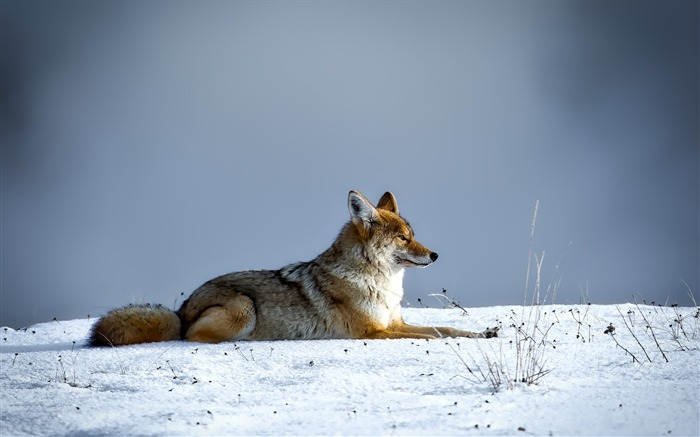 Canine cold coyote Animal Wallpaper Views:539