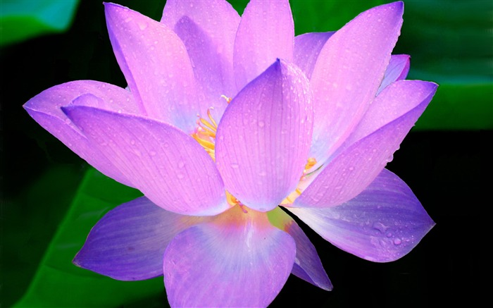 Dew droplets pink lotus flower Photo HD Wallpaper Views:848