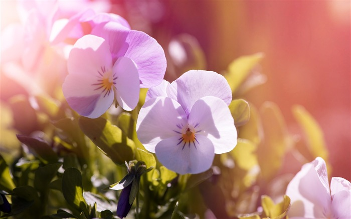Pansy flowers garden Photo HD Wallpaper