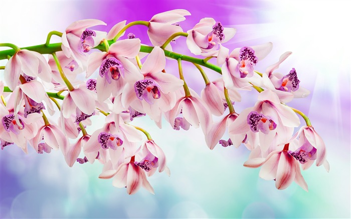 Pink orchids Photo HD Wallpaper
