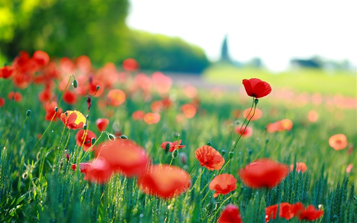 Red poppies Photo HD Wallpaper