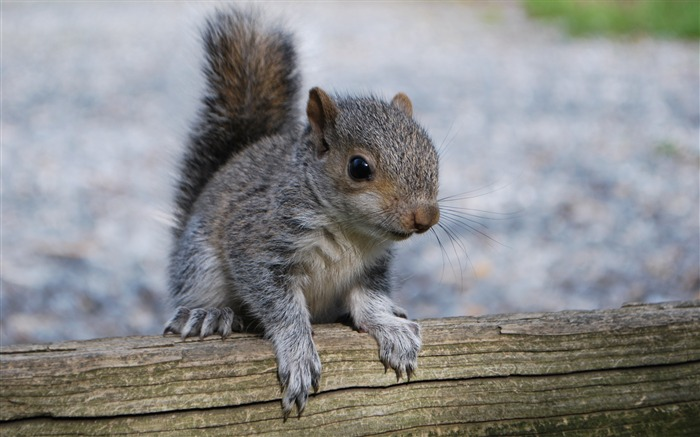 Squirrel rodent Animal Wallpaper Views:409