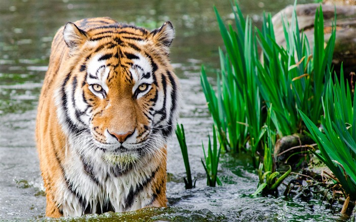 Tiger in water 2017 HD Wallpaper Views:366