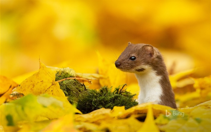 A mouse yellow leaf in autumn 2017 Bing Wallpaper Views:673