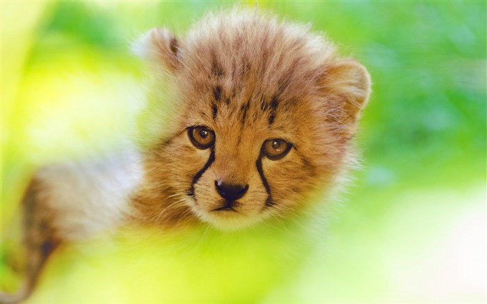 Cute cheetah cub face 2017 4K Ultra HD Views:444