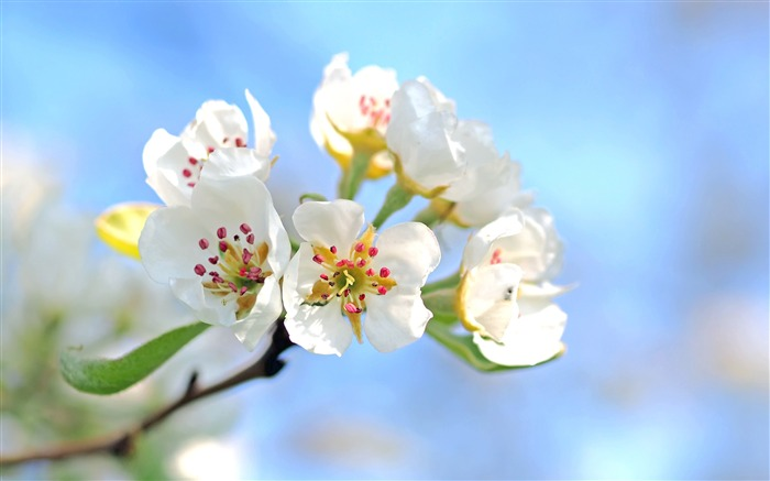 Spring white pear flowers petals 2017 4K HD Photo Views:856