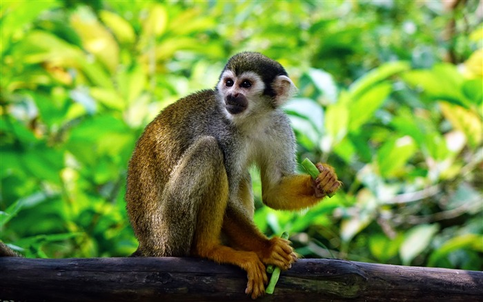 Squirrel monkey forest climb Animal 4K Photo Views:83