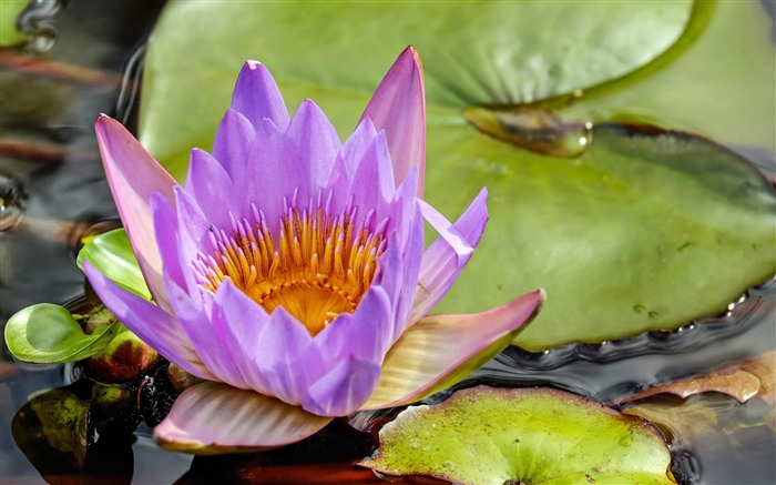 Summer purple water lily blooming close-up Views:735