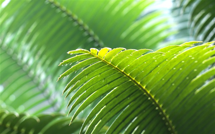 Tropical green palm leaves close-up Views:473