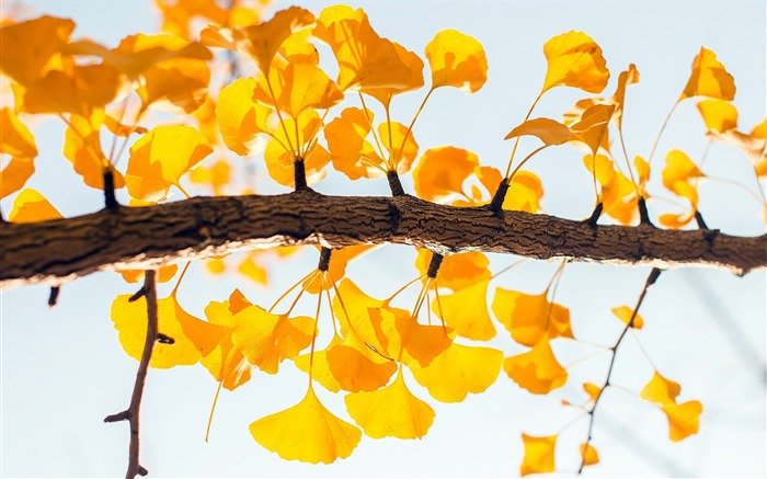 Autumn golden ginkgo leaves closeup Views:25