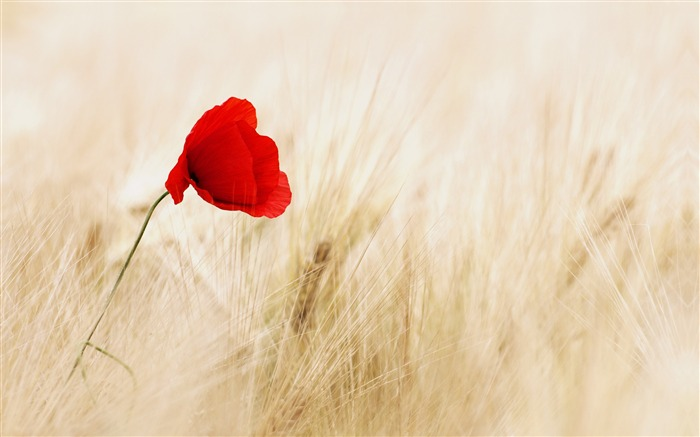 Autumn wheat field red poppies flower Views:30