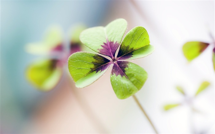Nature green clover plant leaf closeup Views:31