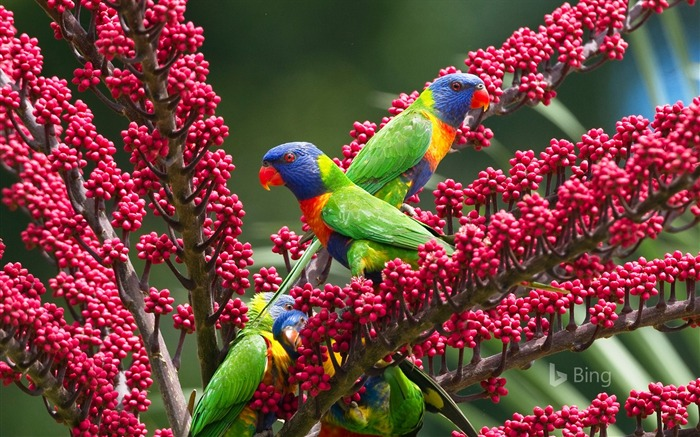 Rainbow Parrot Atherton Tableland Queensland Views:1515 Date:10/22/2018 10:26:44 PM