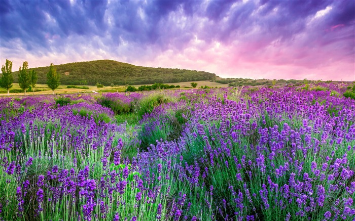 Lavender Mountain Provence 2020 Nature Scenery Photography Views:4139 Date:8/1/2020 5:30:31 AM