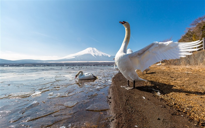 Mount Fuji Lake Geese Winter 2021 Scenery 4K Photography Views:1223 Date:1/2/2021 10:50:30 PM
