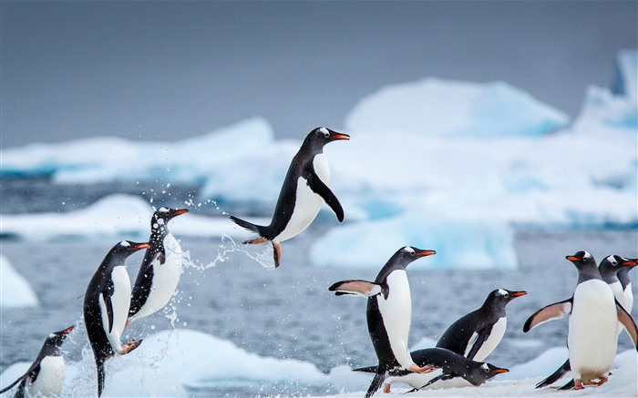 Gentoo penguins Danco Island Antarctica 2021 Bing Theme Desktop Views:1140 Date:2/27/2021 1:40:42 AM