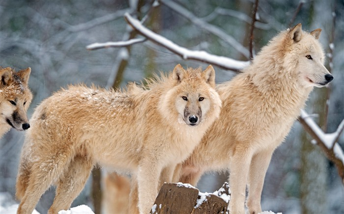 Arctic Wolf Canada 2021 Animals 5K HD Photo Views:941